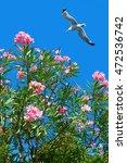 Isolated Flowering Oleander...