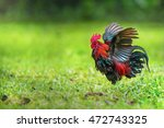 Red Junglefowl Fans His Wings...