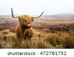 Scottish Highland Cow In Field...