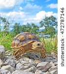 Small photo of African spurred tortoise ,turtle
