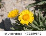 Small photo of Alpine Gold (Hulsea algida) flowers, Eastern Sierra Mountains, California