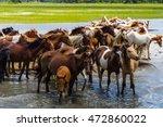 A Herd Of The Wild Ponies Of...