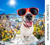 silly dumb crazy jack russell... | Shutterstock . vector #472865572