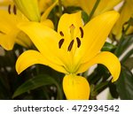Yellow Exotic Lilly