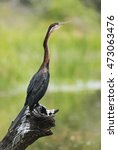 Small photo of African Darter, Anhinga rufa, drying on the branch, bird near water, Kruger National Park, South Africa