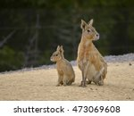 Patagonian Mara And Young ...