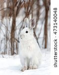 Stock photo snowshoe hare or varying hare lepus americanus sitting in the snow in winter in canada 473140048