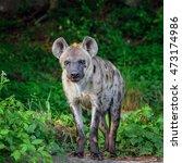 spotted hyenas in safari. | Shutterstock . vector #473174986