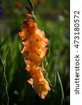Gladiolus In Orange On Field