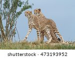 Two Wild Cheetah On A...