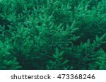 Small photo of bright green spruce tree for background image. Pinophyta Pinopsida Pinales Pinaceae Piceoideae