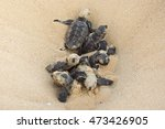 Hatching  Found These Hawksbill ...