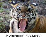 Tiger's Mighty Roar