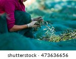 olive picking | Shutterstock . vector #473636656