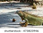 Close Up Of An Iguana In Johnn...