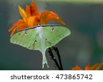 Closeup Luna Moth Feeding On...