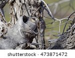 Small photo of Australian Owlet-nightjar (Aegotheles cristatus) Simpson Desert, Northern Territory