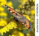 Small photo of Butterfly macro on flower. European Small Tortoiseshell butterfly (Aglais urticae)