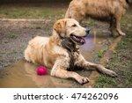golden retriever cooling down...   Shutterstock . vector #474262096