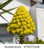 Small photo of Bright yellow large conical vivid flower head and leaves of succulent Aeonium arboreum, Sempervivum arboreum, the tree aeonium,tree houseleek, or Irish rose, is a succulent, sub tropical subshrub .