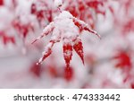 Red Maple Tree Under Snow