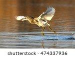 Pond Heron Running With Fish I...