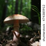 Small photo of Amanita Rubescens in dappled sunlight