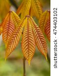 Small photo of Bronze colored leaves of Bottlebrush, Buckeye, Firecracker plant (Aesculus parviflora)