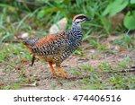 beautiful bird  male of chinese ... | Shutterstock . vector #474406516