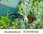 Pipevine Swallowtail And...
