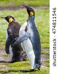 King Penguin  Aptenodytes...