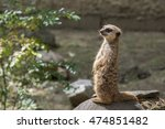 meerkat | Shutterstock . vector #474851482