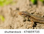 macro shot of a tiny lizard in... | Shutterstock . vector #474859735