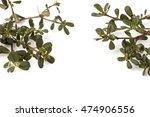 purslane  common purslane ... | Shutterstock . vector #474906556