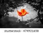 red tulip resurrection in black ... | Shutterstock . vector #474921658