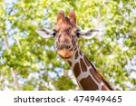 goofy giraffe.  close up of a... | Shutterstock . vector #474949465