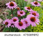 Purple Coneflower  Echinacea ...