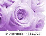 Purple Roses With Water Drops...