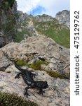 Small photo of Pasubio alpine salamander (Salamandra atra pasubiensis). The rarest and more localized subspecies of Salamandra atra. Adult specimen in its natural habitat