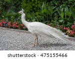 Isolated White Peacock In The...