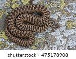 vipera walser  the new species... | Shutterstock . vector #475178908
