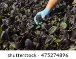 Red Baby Spinach In The Field