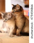 two somali kittens | Shutterstock . vector #475454866