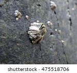Small photo of Large acorn barnacle attached to a natural rock wall along Llanddwyn Island, Anglesey, Wales.
