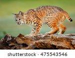 Bobcat  Lynx Rufus  Standing O...