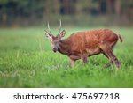 red deer in a clearing in the... | Shutterstock . vector #475697218