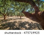Forest Of Cork Trees In A Sunny ...