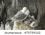 Small photo of Fulmar and young on nest