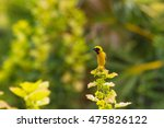 yellow bird asian golden weaver ... | Shutterstock . vector #475826122