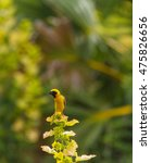 yellow bird asian golden weaver ... | Shutterstock . vector #475826656